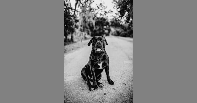 Photo of Griffin, a Boerboel  in Pennsylvania, USA