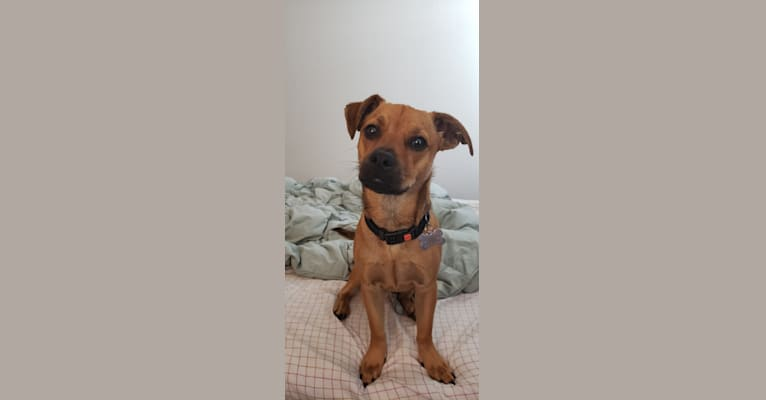 Photo of Maximillian Von Pupperstein, a Poodle (Small), American Pit Bull Terrier, Cocker Spaniel, Chihuahua, and Mixed mix in Austin, TX, USA
