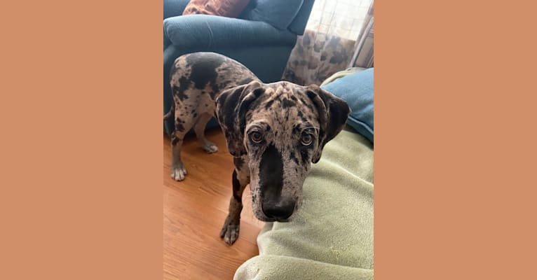Photo of Buddy, an American Pit Bull Terrier, Great Dane, and American Staffordshire Terrier mix