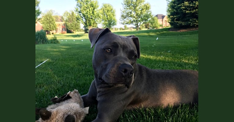 Photo of Johnny Sunshine, an American Bully and American Staffordshire Terrier mix in Illinois, USA