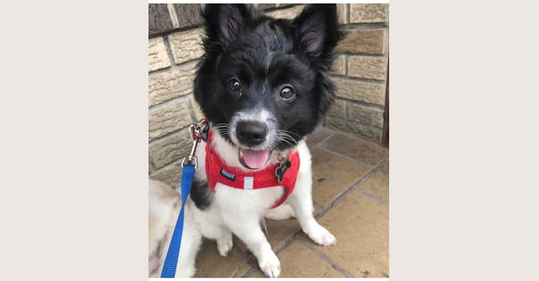 Photo of Chico, an American Eskimo Dog, Chihuahua, and Miniature Pinscher mix in New York, New York, USA