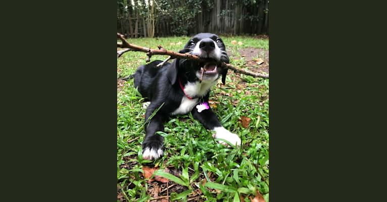 Photo of Rosie, a Labrador Retriever, Siberian Husky, Chow Chow, Golden Retriever, and Mixed mix in Alabama, USA