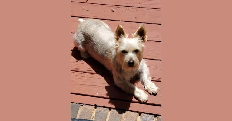 Photo of Patton, a Silky Terrier  in Savannah, Georgia, USA