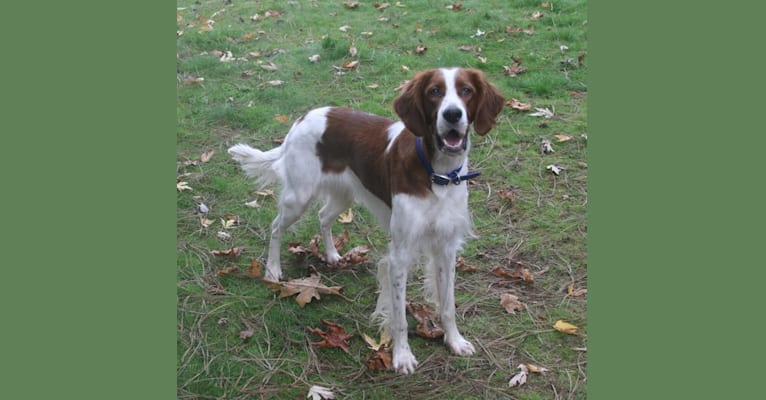 Photo of Caoimhe (Keva), an Irish Red and White Setter  in Glenwood City, Wisconsin, USA