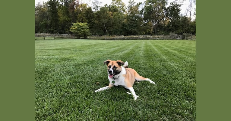 Photo of Teddy, an American Eskimo Dog, Australian Cattle Dog, Beagle, and Australian Shepherd mix in New Philadelphia, Ohio, USA