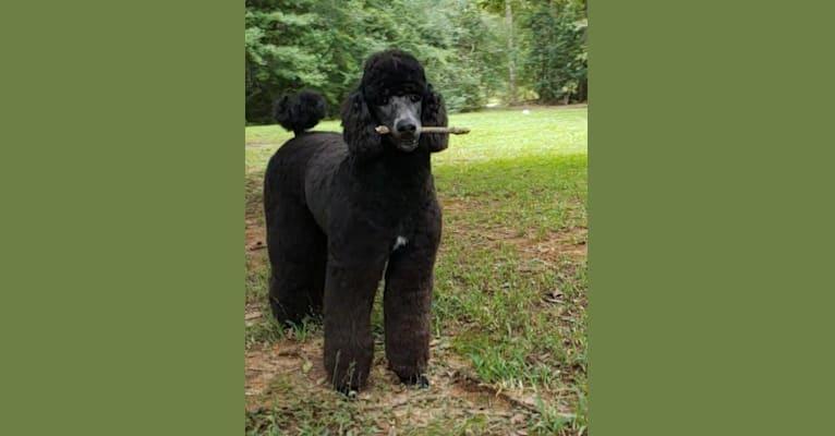 Photo of El Caniche Papi De' Doug, a Poodle (Standard)  in Coushatta, Louisiana, USA