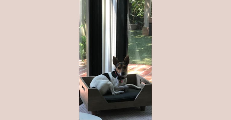 Photo of Lilly, a Rat Terrier and Russell-type Terrier mix in Baton Rouge, Louisiana, USA