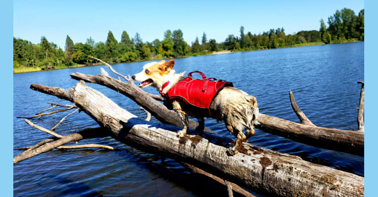 Photo of Luna Lu, a Pembroke Welsh Corgi  in Olympia, WA, USA