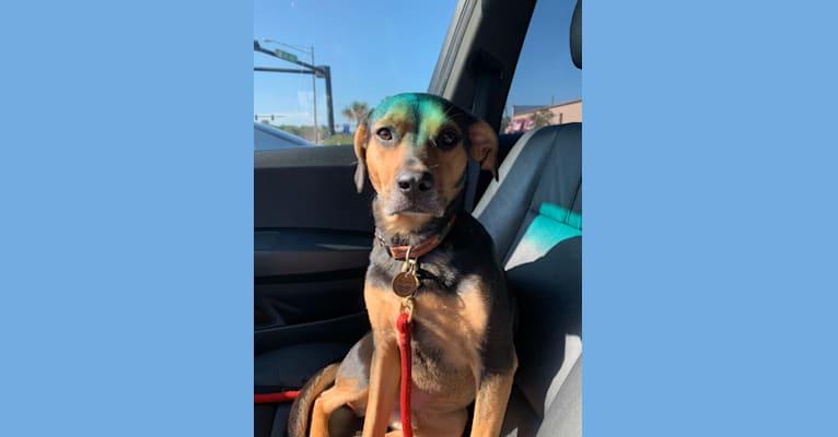 Photo of Juneau, an American Pit Bull Terrier, Beagle, Australian Shepherd, Australian Cattle Dog, and Mixed mix in Gainesville, Florida, USA