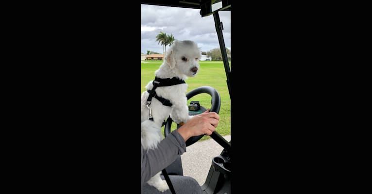 Photo of Morrissey, a Maltese  in Florida, USA