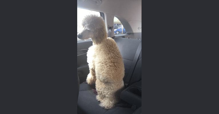 Photo of Miss Ellie, a Poodle (Standard)  in Lake Jackson, TX, USA