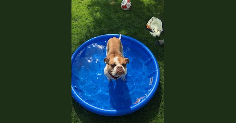Photo of Sonia, an Alapaha Blue Blood Bulldog  in Chicago, Illinois, USA
