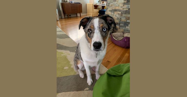 Photo of Finn, an Australian Shepherd and Boxer mix in St. Louis, MO, USA