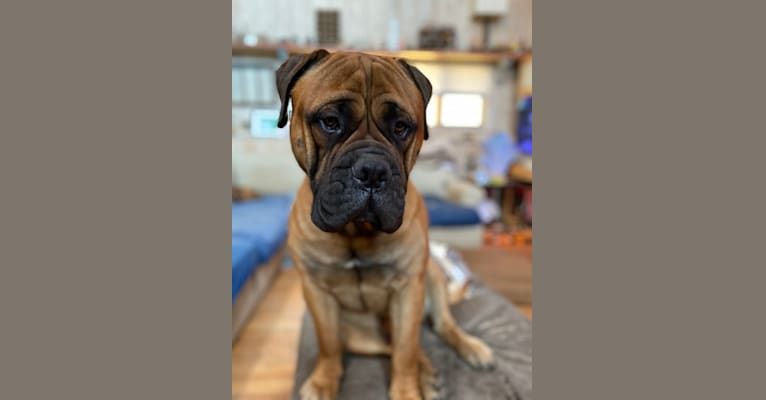 Photo of Big Paws Küter's God of Hellfire Hank, a Bullmastiff  in Long Grove, IA, USA