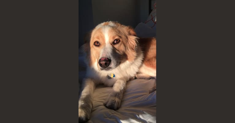 Photo of Margaux, a Great Pyrenees, Labrador Retriever, Chow Chow, Australian Cattle Dog, and Mixed mix in Tennessee, USA