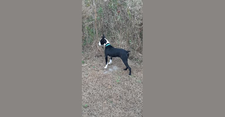 Photo of Beans, a Boston Terrier mix in Conway, South Carolina, USA