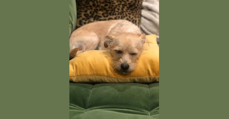 Photo of Scout, a Chihuahua, Poodle (Small), Pekingese, and Dachshund mix in Los Angeles, California, USA