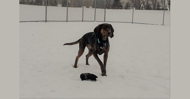 Photo of Molly, a Black and Tan Coonhound and Mountain Cur mix in Apple Valley, Minnesota, USA