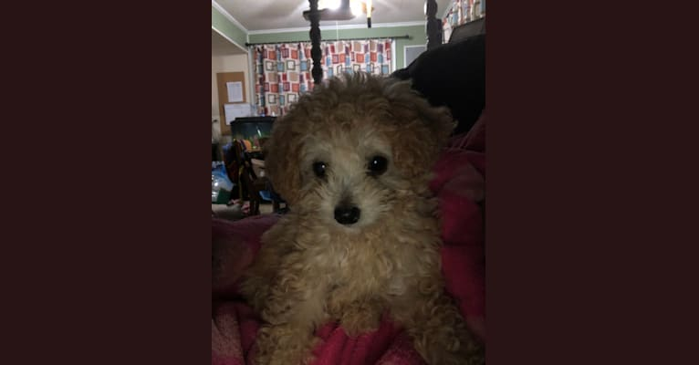 Photo of Abby, a Poodle (Small)  in 8177 Gum Street, Houma, LA, USA