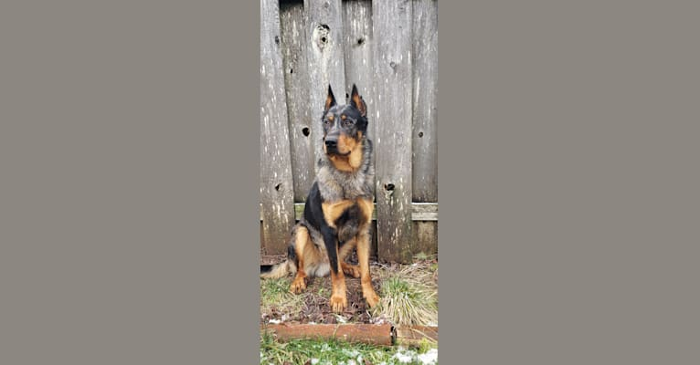 Photo of Pick Your Poison du La Cour Des Rêves, a Beauceron  in Washougal, WA, USA