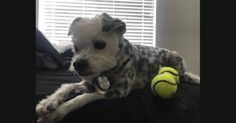 Photo of Paris, a Poodle (Small), Chihuahua, and Mixed mix in Burbank, California, USA