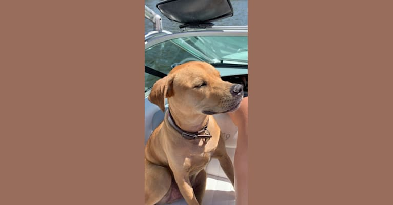 Photo of Whaler, an American Pit Bull Terrier, Catahoula Leopard Dog, and Mixed mix in Tampa, Florida, USA
