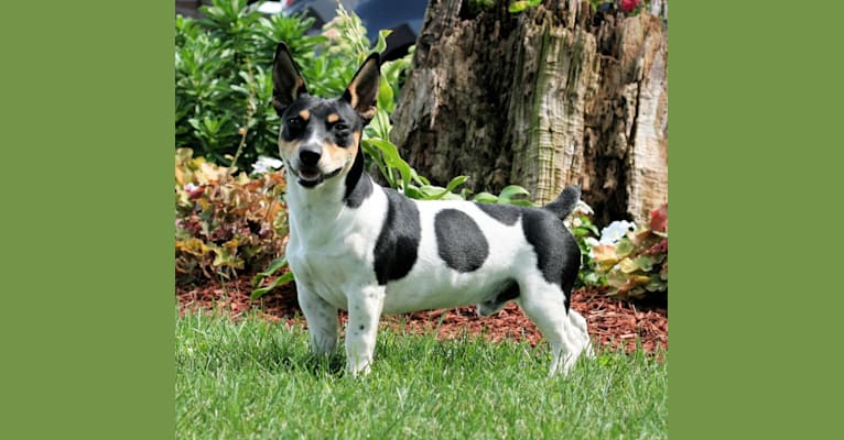 Photo of Rocky, a Teddy Roosevelt Terrier  in Newark, Illinois, USA