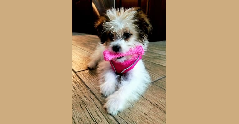 Photo of Lala, a Poodle (Small), Chihuahua, Lhasa Apso, Boston Terrier, and Mixed mix