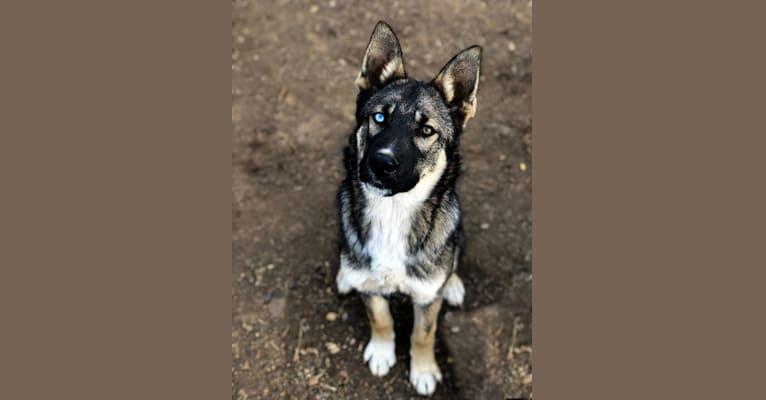 Photo of Hawk, a German Shepherd Dog and Siberian Husky mix in Australia