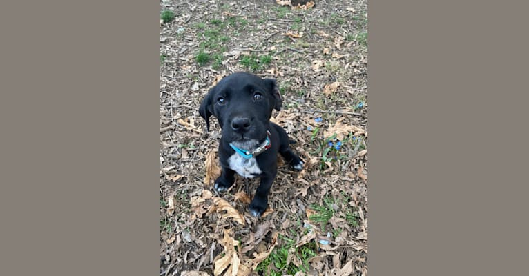 Photo of Luka baby, a Dalmatian and Golden Retriever mix in Ligonier, IN, USA