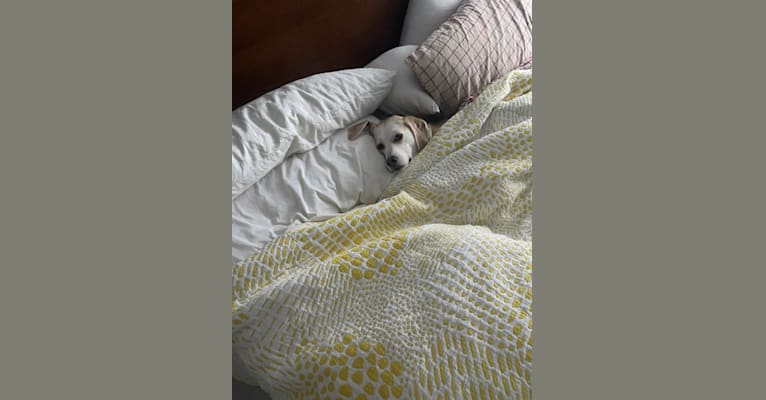 Photo of Daphne, an American Foxhound, English Foxhound, Labrador Retriever, German Shepherd Dog, and Mixed mix in New York, USA