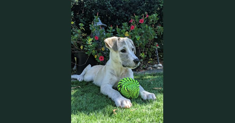 Photo of Juno, a Labrador Retriever, Siberian Husky, and American Bulldog mix