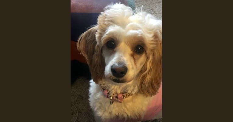 Photo of Trysta Belle, a Cockapoo  in Milwaukee, Wisconsin, USA