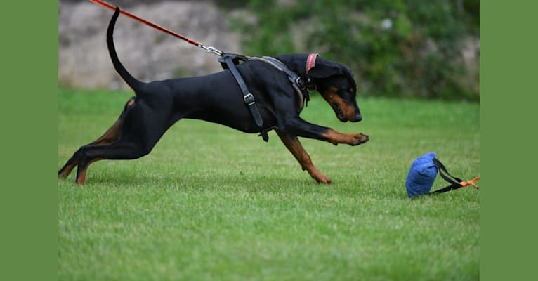 Photo of Erna, a Doberman Pinscher  in Suomi