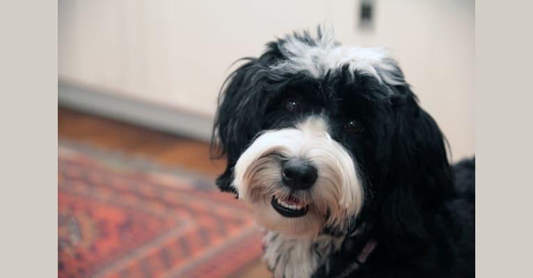 Photo of Dawson, a Tibetan Terrier  in San Antonio, Texas, USA