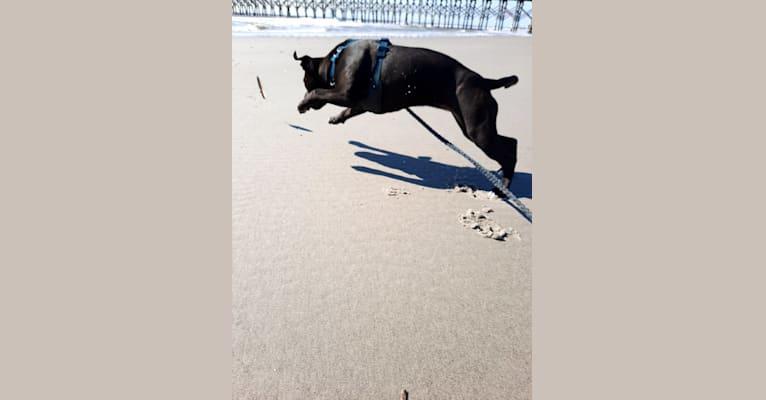 Photo of Shark (Irresistibull's Storm Surfer), a Staffordshire Bull Terrier  in Monroe, GA, USA