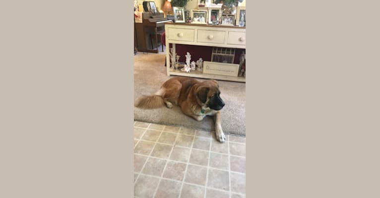 Photo of Linus, a Saint Bernard and Boxer mix in Gainesville, Virginia, USA