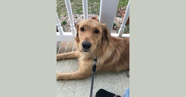 Photo of Sunny, a Golden Retriever, German Shepherd Dog, and Mixed mix in Maryland, USA