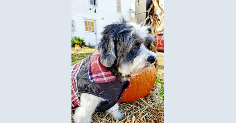 Photo of Lord Ardley Worthington, a Shih Tzu, Maltese, and Chihuahua mix in Woburn, Massachusetts, USA