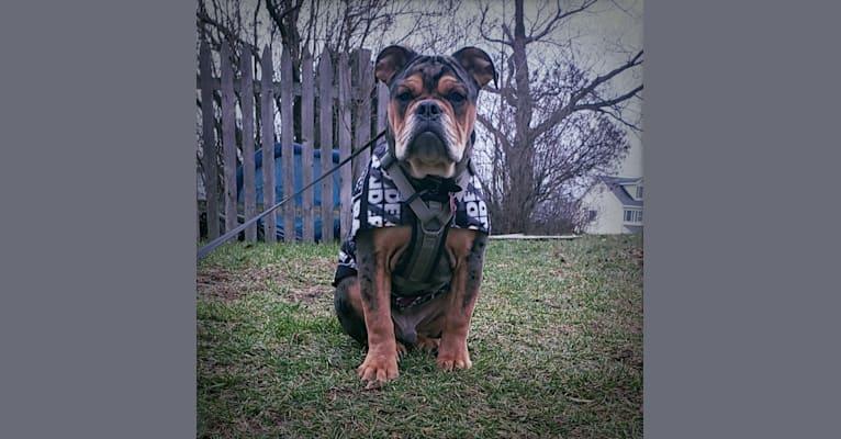 Photo of Vinny, an Olde English Bulldogge  in Kentucky, USA