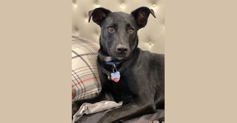 Photo of Bagel, a Border Collie, German Shepherd Dog, American English Coonhound, and Mixed mix in Tennessee, USA