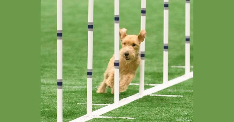 Photo of Phoebe, a Lakeland Terrier  in MN, USA