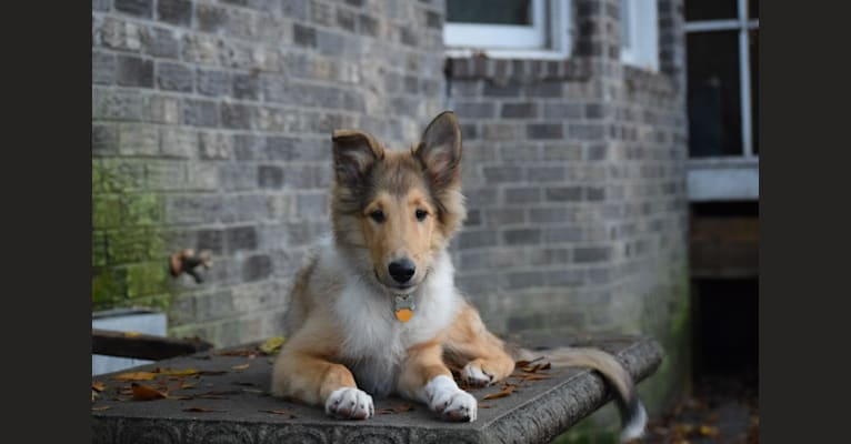 Photo of Jackson, a Collie  in Charlotte, NC, USA