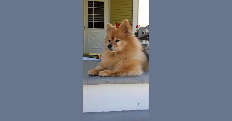 Photo of Zeke, a Pomeranian  in Lake in the Hills, Illinois, USA