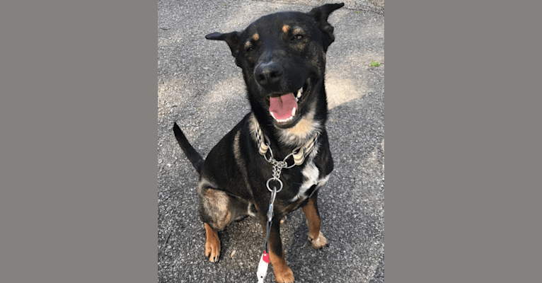 Photo of Boston, an Australian Cattle Dog, American Pit Bull Terrier, Bluetick Coonhound, German Shepherd Dog, and Mixed mix in Blanchester, Ohio, USA