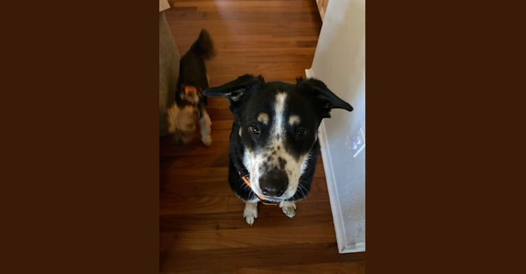 Photo of Jim, a Rottweiler, Chow Chow, American Pit Bull Terrier, German Shepherd Dog, and Mixed mix in Georgetown, Texas, USA