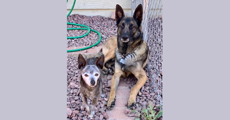 Photo of LIAM, a German Shepherd Dog and Belgian Malinois mix in Arizona, USA