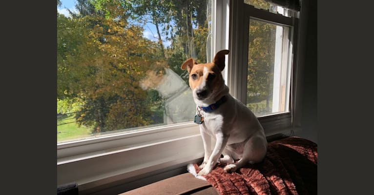 Photo of Archie, a Russell-type Terrier  in Norwalk, Connecticut, USA