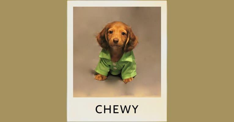 Photo of Chewy, a Dachshund  in Austin, Texas, USA