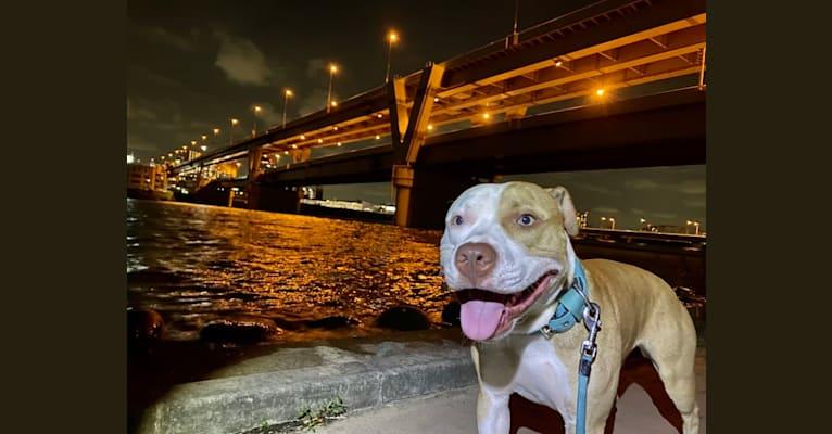 Photo of MEGA II, an American Pit Bull Terrier  in Tsukuba, Ibaraki, Japan